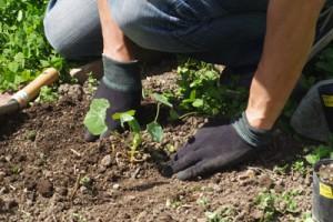 ハーブ講座 苗の植え付け